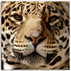 Jaguar (Edgar Thissen) Tags: 20d closeup canon zoo bravo belgium explore jaguar antwerpen mw pgphotography magicdonkey edgarthissen 16856 specanimal animalkingdomelite superbmasterpiece