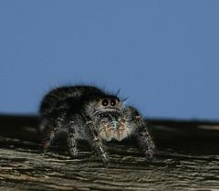 Jumper at Dusk (The Bald Eagle1) Tags: macro nature spider arachnid specnature