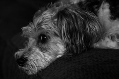 Dog on the couch (troycochrane) Tags: blackandwhite bw nikon d70 deleteme10 buddy couch saveme1 thepooch