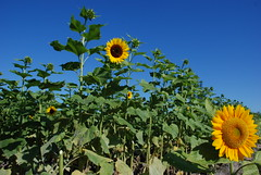 Sunflowers in Miami. (James Good) Tags: sun flower florida miami sunflower doral