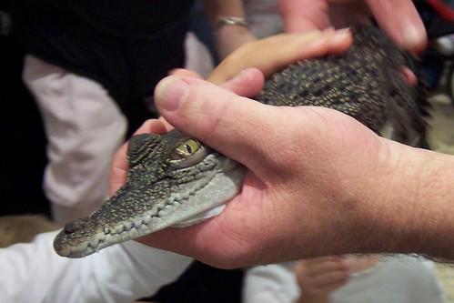 Baby freshwater crocodile Deepwater Plaza Woy Woy