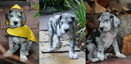 Merle Danes.... Yes?.... No? | Great Danes | Flickr