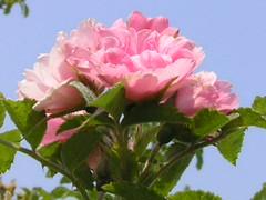 Pink Grootendorst Roses Against Sky (Chrisser) Tags: flowers roses summer ontario canada nature garden gardening fourseasons closeups rosaceae flowerfactory rugosas olympuscamediac765 pinkgrootendorst