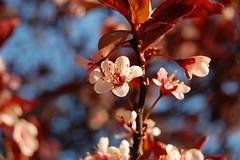 Cherry blossom (the morning light) (jayul) Tags: morning flowers morninglight nikon blossom fresh cherryblossom bsbblossom