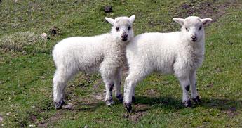 baby-sheeps