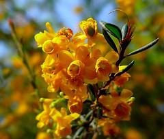 Spring macro (sbuliani) Tags: park flower macro london nature yellow closeup lumix spring panasonic stefano naturesfinest blueribbonwinner instantfave abigfave dmcfz50 buliani sapessi stefanobuliani