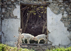 Fairy Tale About Two Goats (AIeksandra) Tags: macedonia ljubaniste rural village balkans balkan border house old texture decay wall serbia photojournalism streetshot animals goat fight moment lighting documentary fairytale explore interestingness luoghimagici rurale