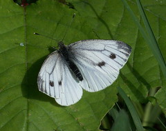 Small White in Stave Hill Ecology Park