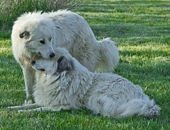 Homesick (Flint-Hill (away)) Tags: dog mouse fidget buckscounty greatpyrenees jesters patou bucksco