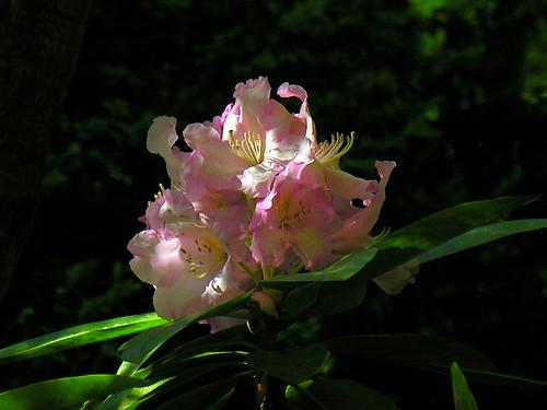 Pink Rhoddie