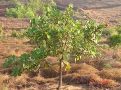 3 years old Cashew plant (Parag Purandare) Tags: plant cashew konkan dapoli sakhaloli konkanfarming
