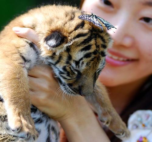 New born Tiger