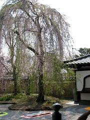 京都・高台寺 さくら桜の3