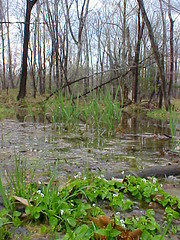 Sandy Ridge Trail (swamp)