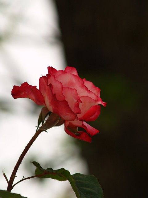 Oh my love is like a red red rose by bryguy1955