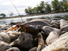 freshwater crayfish (hollis_corey) Tags: fish mountains water river fishing snowy nsw crayfish snowymountains khancoban swampyplainsriver freshwatercrayfish