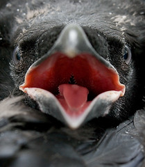 Korppi (mattisj) Tags: bird birds explore raven lintu corvuscorax linnut naturesfinest supershot specanimal korppi anawesomeshot avianexcellence