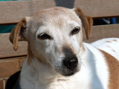 solby (pixcon) Tags: portrait dog doggy sunbathing jackrussel