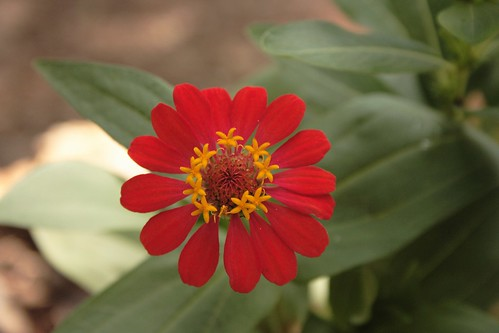 Flor Rojita