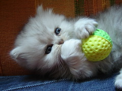 Kitten playing with ball (catherine.caf) Tags: cat persian chat persan cc400 cc300 cc200 cc100 abigfave kittenmagazine bestofcats impressedbeauty pet100 thebiggestgroupwithonlycats