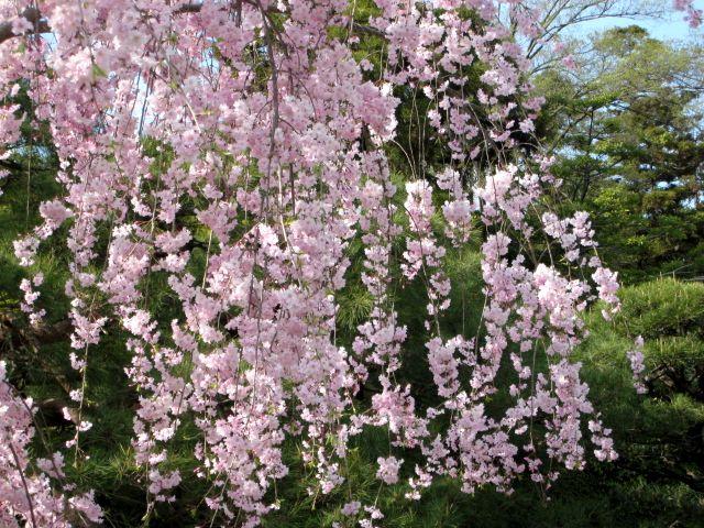 京都・城南宮34 桃山の庭7 紅枝垂桜