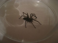 Spider we captured in a glass (Carol B London) Tags: insect spider legs captured caught yuk 8legs