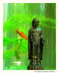 My Secret Garden (Araleya) Tags: fish green home garden relax thailand fz20 colorful peace buddha buddhist buddhism panasonic fishtank meditation frontyard redfish secretgarden nonthaburi buddhaimage araleya blackribbonbeauty japanesebuddha