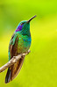 Green Violet-ear (graspnext) Tags: costa costarica hummingbird rica savegremountainlodge greenvioletear colibrithalassinus specanimal superaplus aplusphoto megashot superhearts photofaceoffwinner photofaceoffplatinum pfogold mimscolor dec07pfobrackets