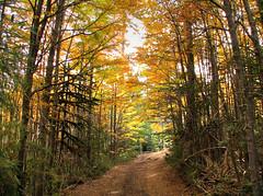 The Road (Rod Chile) Tags: chile autumn fall lenga camino herbst 9 explore otoo araucaria villarrica parquenacional naturesfinest chinay araucana ysplix nothofaguspumilio