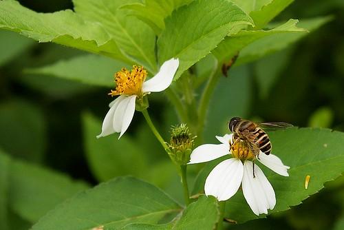 IMGP9516_蜜蜂在採花蜜