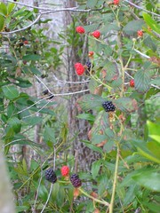 Swamp Blackberries