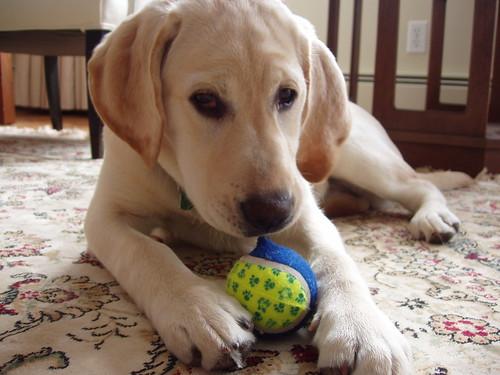 yellow Labrador Retriever - Mitzie