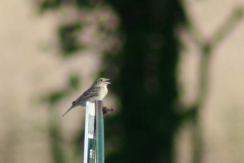 Grasshopper Sparrow1