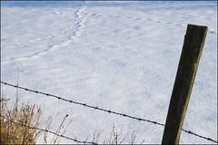 (Negrin) Tags: winter white snow fence landscape mazury footprints poland polska zima plot biel przyroda bialy krajobraz snieg slady