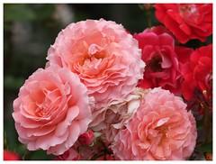 Rose 070520 #10
