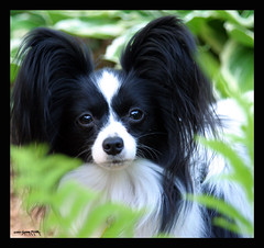 "Mom's papillon ""Lulu"" (electra-cute) Tags: dog papillon"