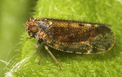 """Leafhopper • <a style=""""font-size:0.8em;"""" href=""""http://www.flickr.com/photos/57024565@N00/509319260/"""" target=""""_blank"""">View on Flickr</a>"""
