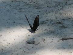 maybe a spicebush swallowtail