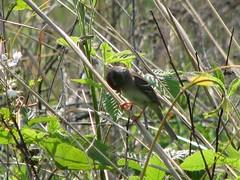 field sparrow eating a bug