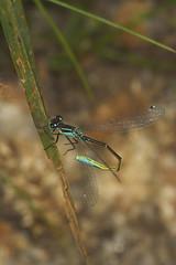"Blue-Tailed Damselfly (Ischnura elega(3) • <a style=""font-size:0.8em;"" href=""http://www.flickr.com/photos/57024565@N00/513281570/"" target=""_blank"">View on Flickr</a>"