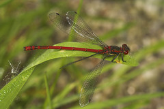 "Large Red Damselfly (Pyrrhosoma nymp(22) • <a style=""font-size:0.8em;"" href=""http://www.flickr.com/photos/57024565@N00/513282994/"" target=""_blank"">View on Flickr</a>"