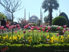 Sultan Ahmet - Blue Mosque behind Tulips