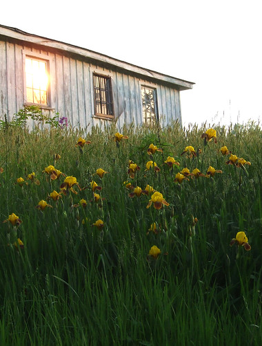 iris shed