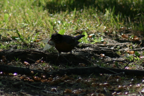 American Robin with a Brood XIII