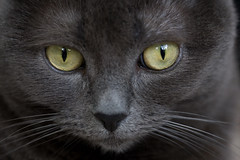 Rachel's eyes (Junnn) Tags: portrait pet cats cat rachel eyes gray 60mmf28 canonefs60mmf28macrousm bestofcats pet100