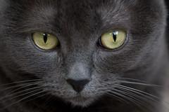 Rachel's eyes (Junnn) Tags: portrait pet cats cat rachel eyes gray 60mmf28 canonefs60mmf28macrousm bestofcats pet100