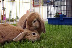 Boef grooming Ukkie (Sjaek) Tags: pet cute rabbit bunny love grass animal fence garden outside furry sweet lawn adorable fluffy grooming lopear boef ukkie