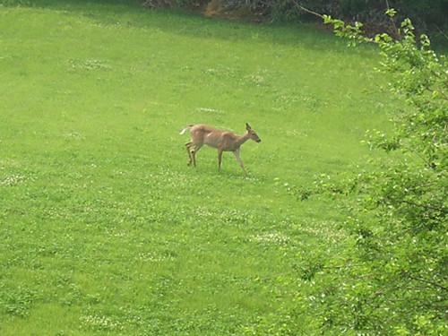 Deer May 30