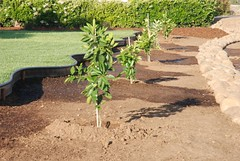 New citrus trees