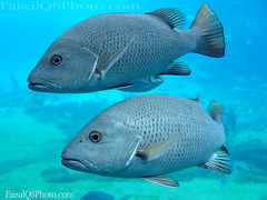 Twin Fish (FaisaL HamadaH) Tags: fish water aquarium under sydney twin  fa  austaralia     faisalhamadah